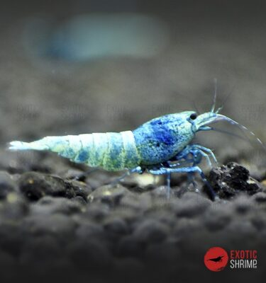 caridina blue bolt exotic shrimp