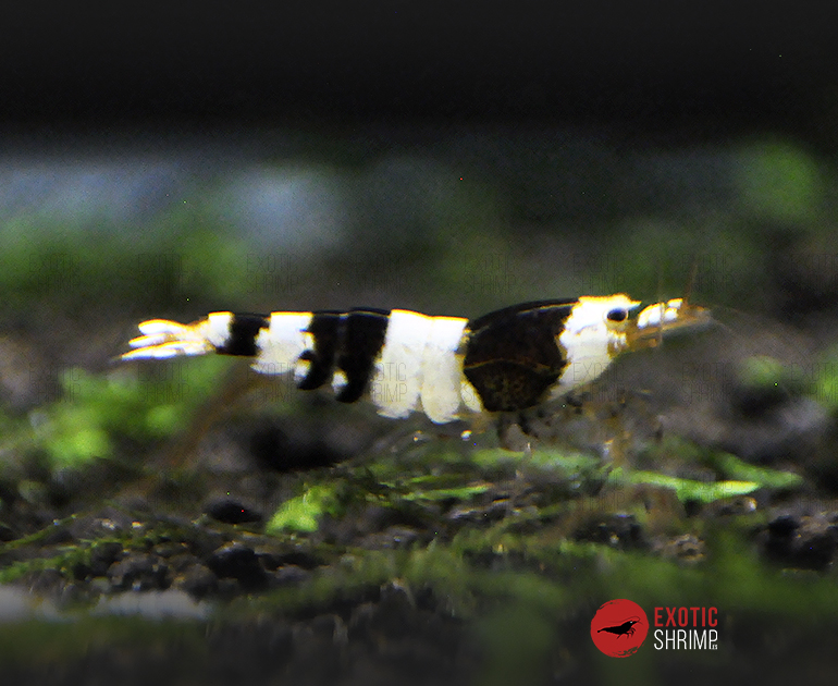 caridina crystal black a-s exotic shrimp