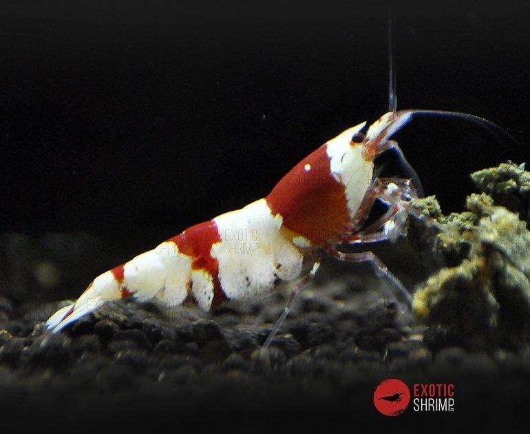 caridina crystal red a-s exotic shrimp 2