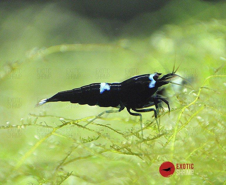 caridina king kong exotic shrimp