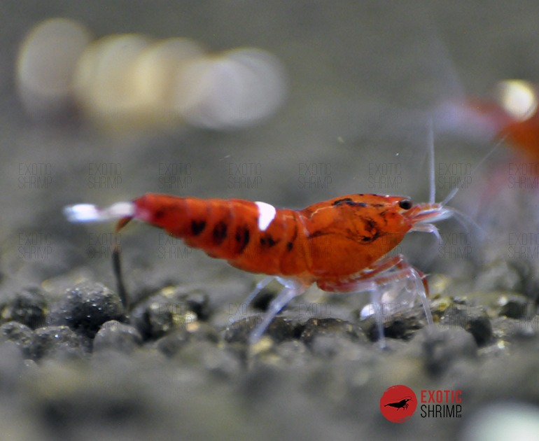 caridina red ruby exotic shrimp