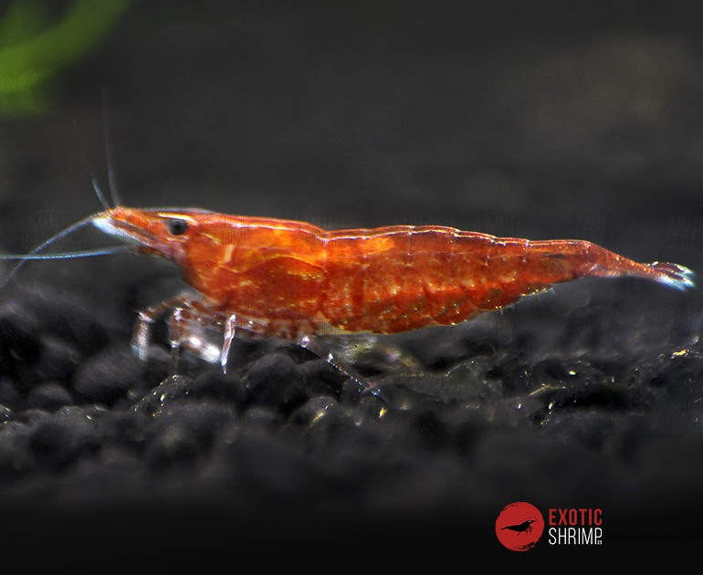 neocaridina red cherry exotic shrimp