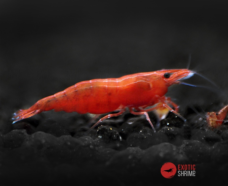 neocaridina red fire exotic shrimp
