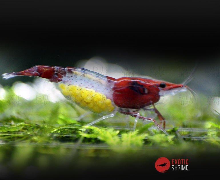 neocaridina red rilli exotic shrimp