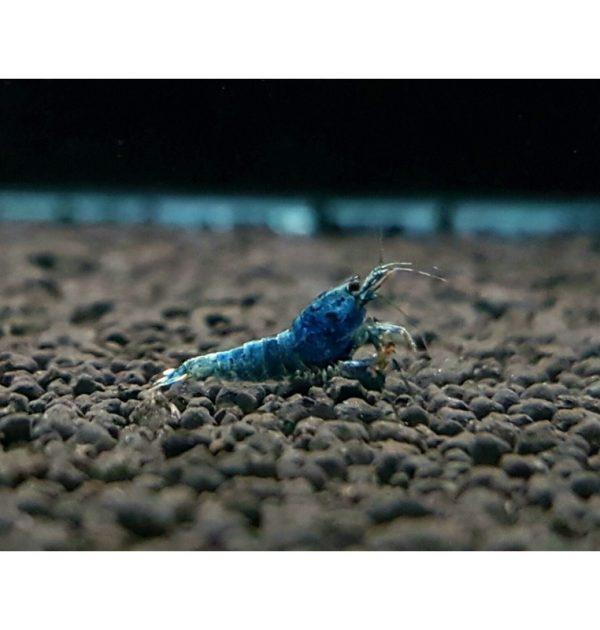 BLUE BOLT SS