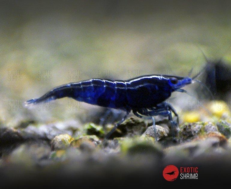 neocaridina Blue saphire exotic shrimp