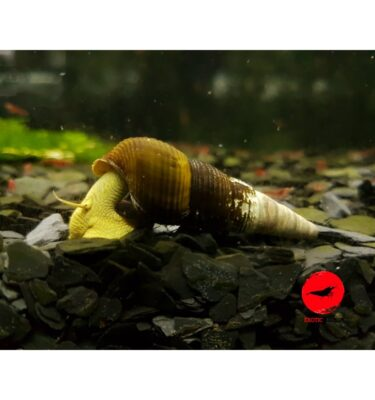 YELLOW RABBIT SNAIL