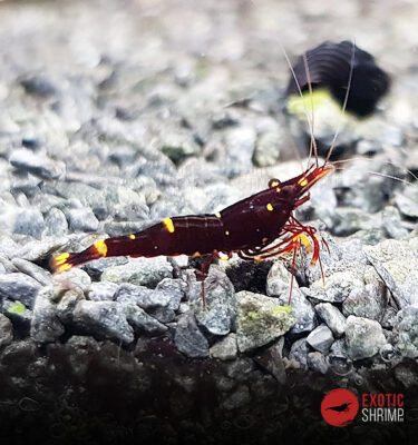 Caridina Spinata Yellow cheek bee exotic shrimp