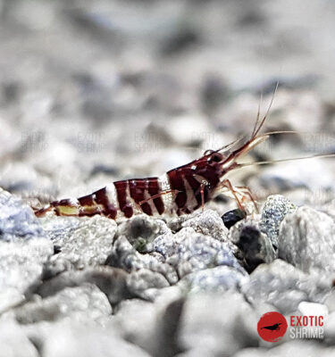 tigri exotic shrimp 2