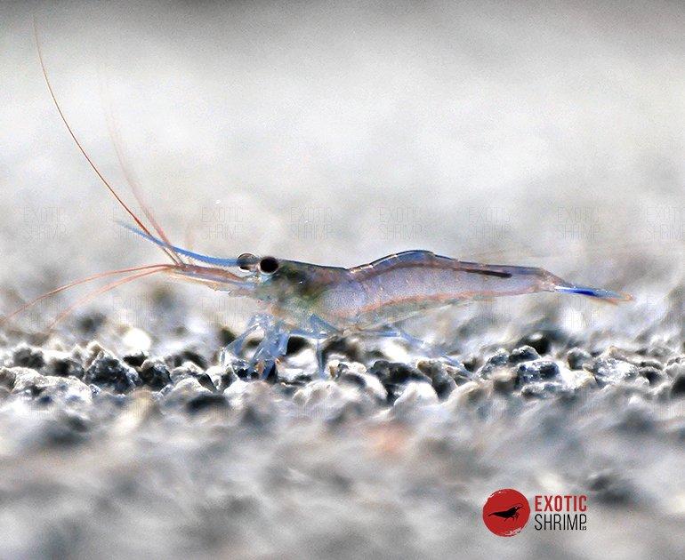 Caridina Caerulea Blue leg poso exotic shrimp