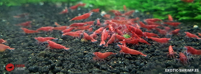 red fires comiendo stick de csf espinaca exotic shrimp
