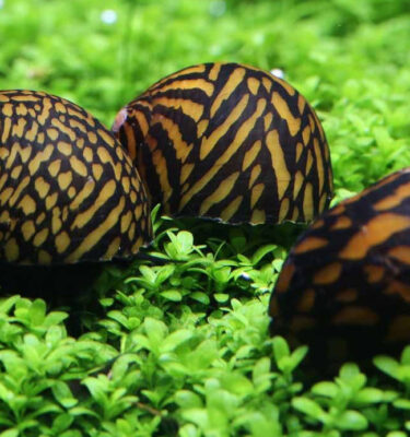 caracol tigre neritina