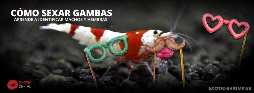 como sexar a las gambas exotic shrimp imagen destacada