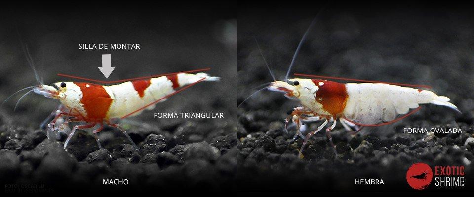 forma macho hembra gamba exotic shrimp