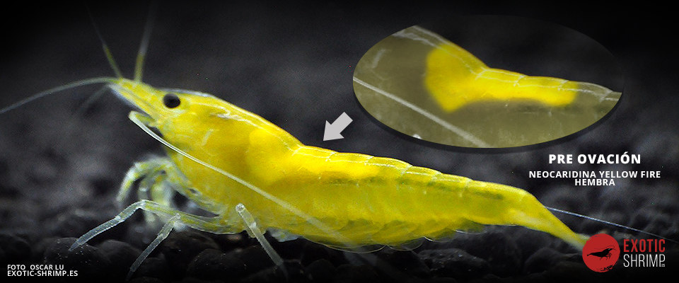 preovacion neocaridina yellow fire exotic shrimp