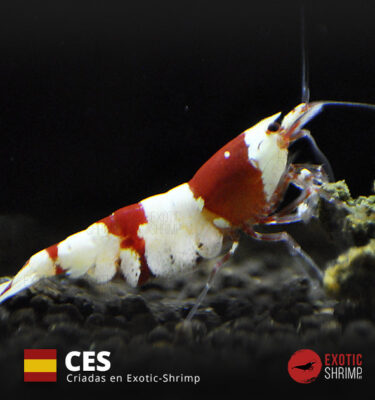 caridina crystal red a-s NES exotic shrimp