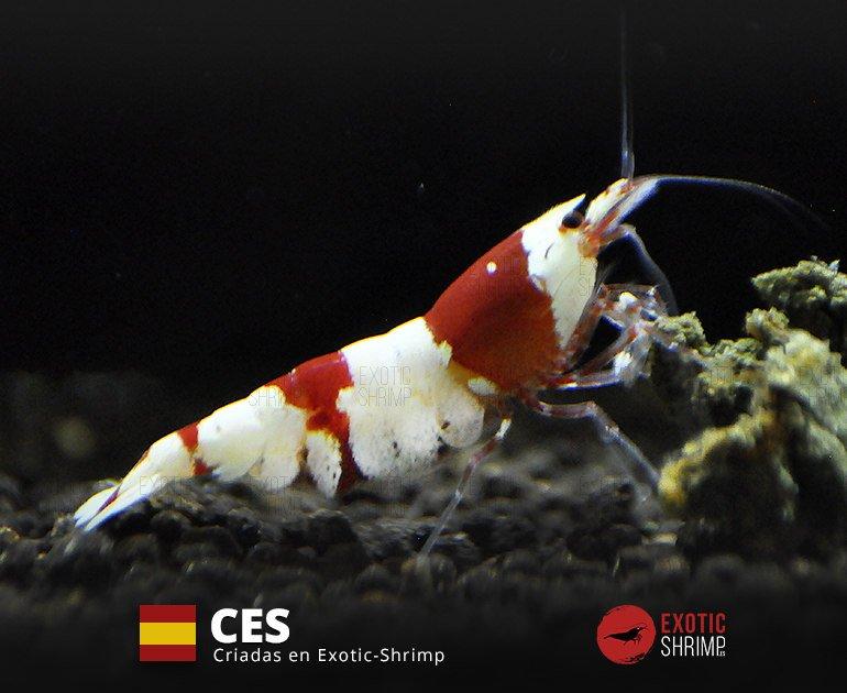 caridina crystal red a-s NES exotic shrimp