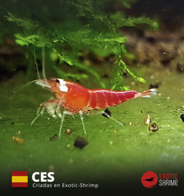 caridina super crystal red exotic shrimp NES