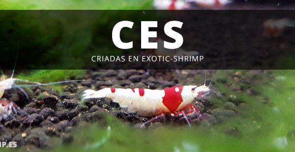 ces exotic shrimp imagen destacada