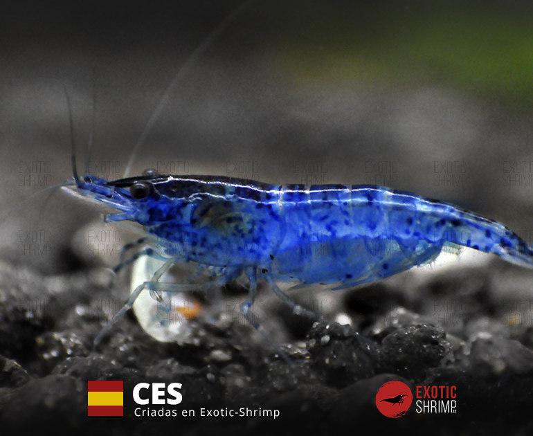 neocaridina blue velvet exotic shrimp CES