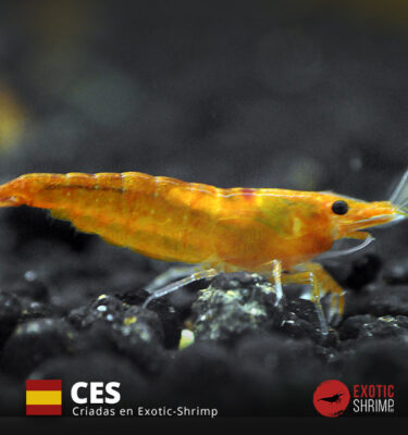 neocaridina orange sunkist exotic shrimp CES