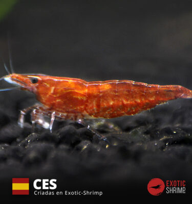 neocaridina red cherry exotic shrimp CES