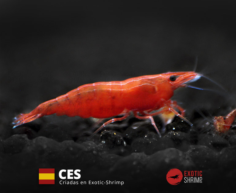 neocaridina red fire exotic shrimp CES