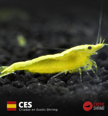 neocaridina yellow golden exotic shrimp CES