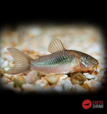 CORYDORAS AENUS BRONCE imagen destacada exotic shrimp