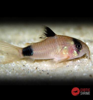 CORYDORAS PANDA imagen destacada exotic shrimp
