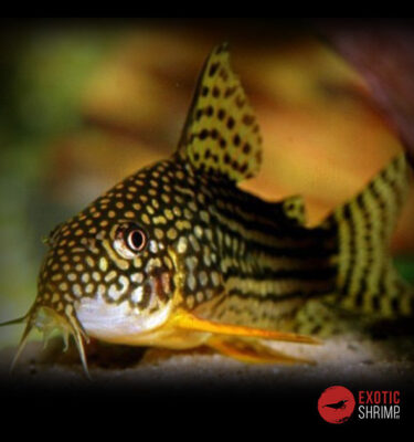 CORYDORAS STERBAI imagen destacada exotic shrimp