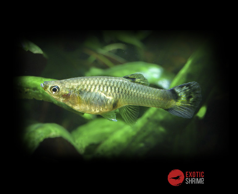 Guppy hembra imagen destacada exotic shrimp