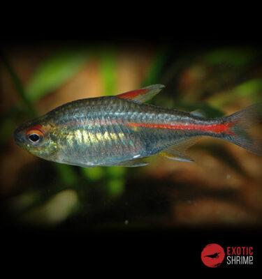 Hemigrammu imagen destacada exotic shrimp