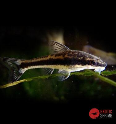OTOCINCLUS AFFINIS imagen destacada exotic shrimp