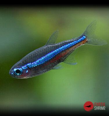 PARACHEIRODON SIMULANS imagen destacada exotic shrimp
