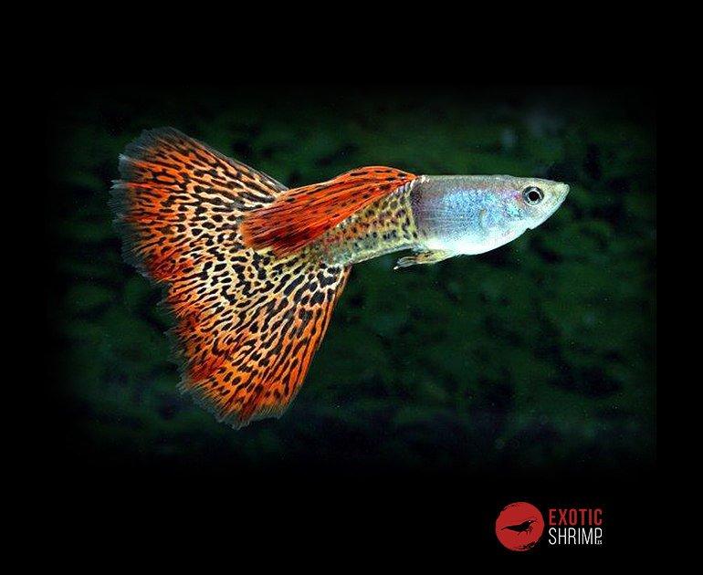 POECILIA RETICULATUS macho imagen destacada exotic shrimp