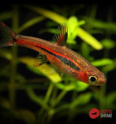 RASBORA BRIGITTAEimagen destacada exotic shrimp
