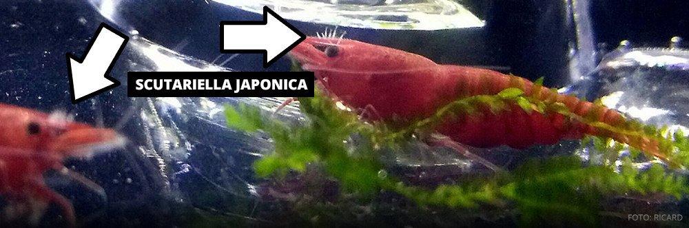 Scutariella Japonica foto recard