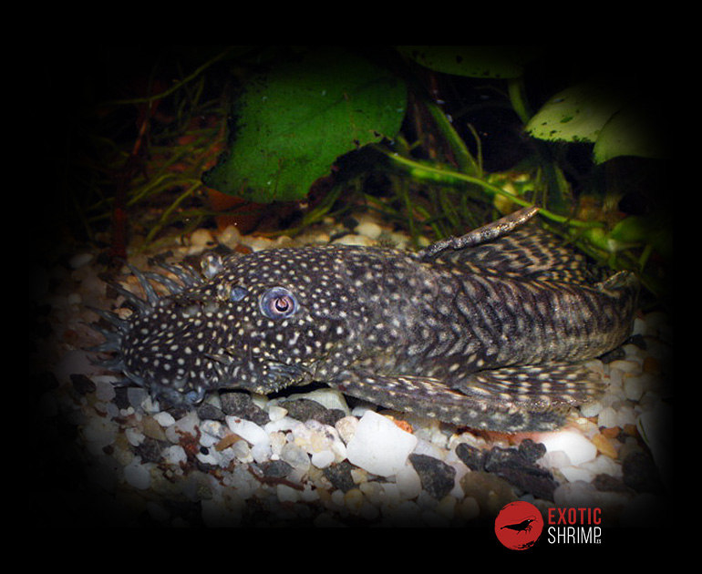 ancistrus imagen destacada exotic shrimp