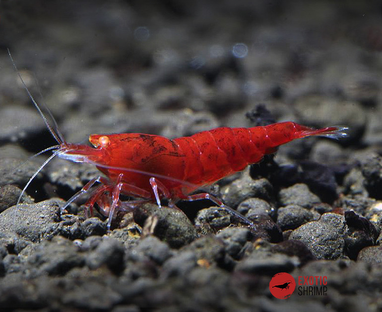 caridina red bee devil exotic shrimp imag destacada