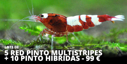 red pinto multristripes banner