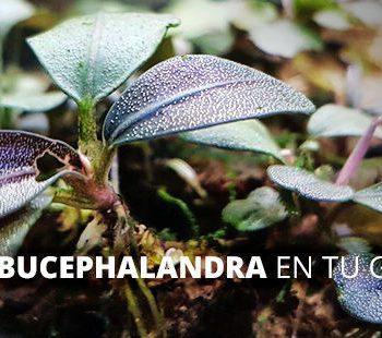 Pon una Bucephalandra en tu gamabrio exotic shrimp imagen destacada
