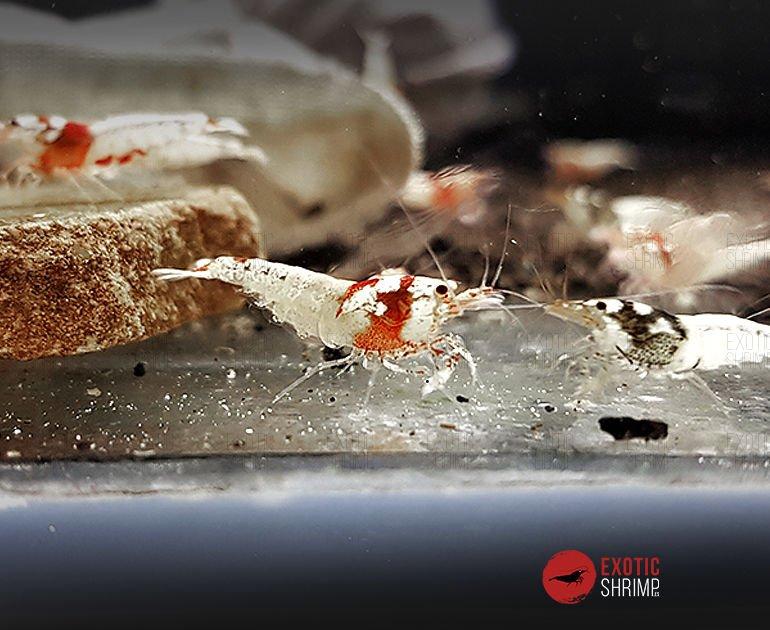 caridina hibrido pinto 1 exotic shrimp
