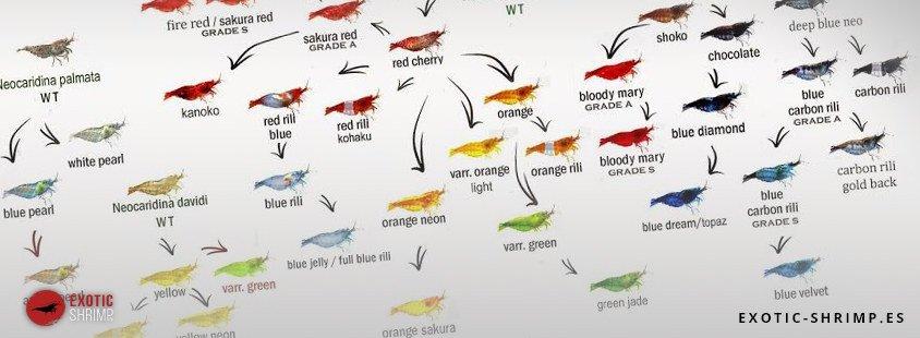 arbol neocaridinas exotic shrimp imagen destacada