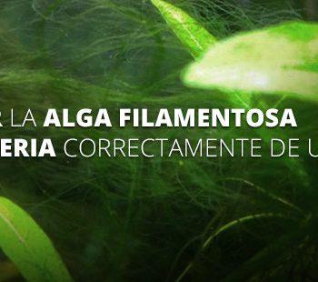 eliminar alga filamentosa y cianobacteria exotic shrimp imagen destacada
