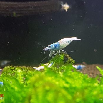 ovada 2 exotic shrimp