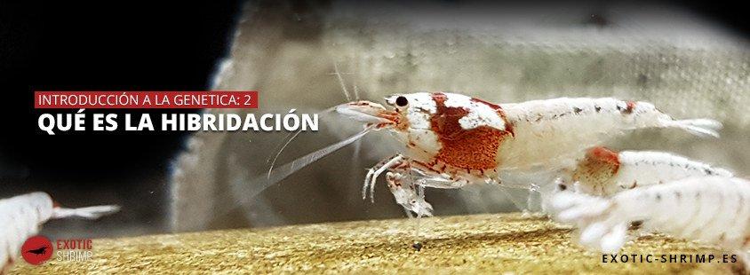 que es la hibridacion exotic shrimp imagen destacada