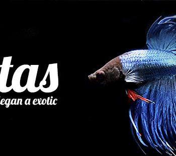 los bettas llegan a exotic shrimp imagen destacada